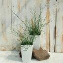 ラセンイ ホワイトスパイラル 観葉植物 4号鉢