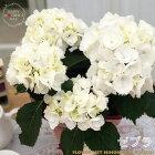 母の日ギフトアジサイゼブラブラックスチール母の日ギフト贈り物プレゼントあじさい紫陽花4号鉢