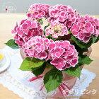 母の日ギフトアジサイチボリ母の日ギフト贈り物プレゼントあじさい紫陽花5号鉢