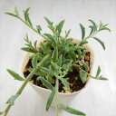 nbドルフィンネックレス セネシオ ペレグリナ多肉植物 7.5cmポット