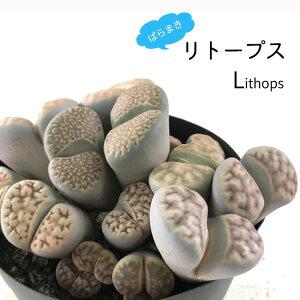 多肉植物 caばらまきリトープス 多肉植物 3.5号鉢 リトープス メセン