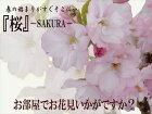 お部屋でお花見いかがですか?桜旭山10.5cmポット(盆栽さくらサクラ)