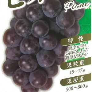 ブドウ ピオーネ ぶどう苗 葡萄 果樹苗 10.5cmポット