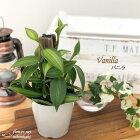 バニラ3.5号鉢観葉植物蘭ランバニラビーンズつる性インテリア