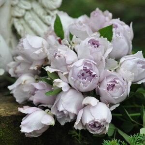 予約販売 バラ大苗 河本バラ園 ルシファー 四季咲き 薔薇 バラ バラ苗 hao 12月上旬以降発送