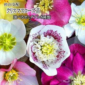 クリスマスローズ苗 選べるセミダブル8種類 杉光園芸 杉山交配 9cmポット