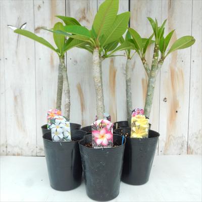 選べるプルメリア6品種(熱帯花木 12cmポット)