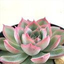 swkエケベリア シルエット 多肉植物 エケベリア 7.5cmポット