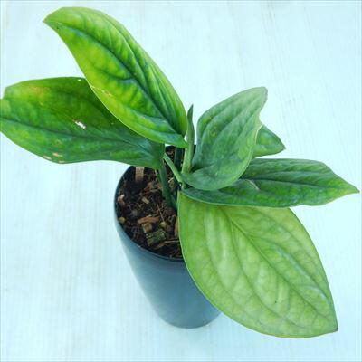 希少! モンステラ ジェイドシャトルコック 3.5号鉢 観葉植物