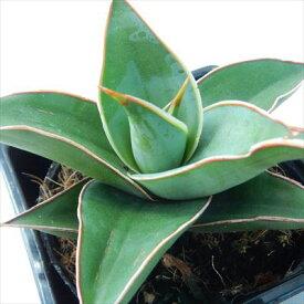 サンスベリア ピングイキュラ 3.5号鉢 観葉植物 サンセベリア