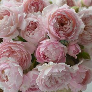 予約販売 バラ大苗 河本バラ園 シュクレ 四季咲き 薔薇 バラ バラ苗 hao 12月上旬以降発送