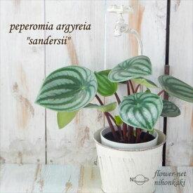 ペペロミア・アルギレイア サンデルシー スイカペペ 4号鉢 観葉植物