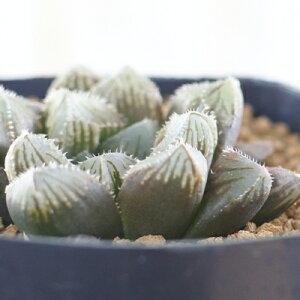 多肉植物 naハオルチア ♀オブツーサ ♂毛蟹 多肉植物 7.5cm