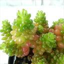 seセダム レッドベリー 多肉植物 セダム 7.5cmポット