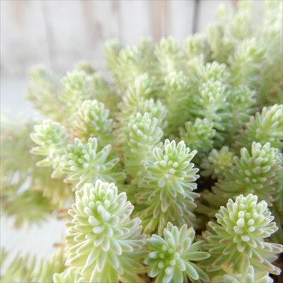 seセダム クリームソーダ 多肉植物 セダム 9cmポット