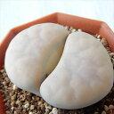asリトープス 白薫玉 多肉植物 6cmポット メセン