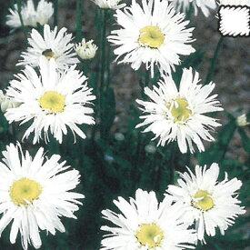 宿根草の咲く庭 クリサンセマム スノードリフト 宿根草苗 9cmロングポット 予約販売 ガーデニング 多年草 シャスターデージー