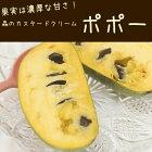選べるポポー果樹苗5号鉢ポポーの木