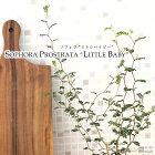 ソフォラミクロフィラリトルベイビー(観葉植物9cmポット)