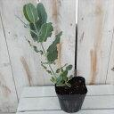 ユーカリ プレウロカルパ 観葉植物 ハーブ 10.5cmポット