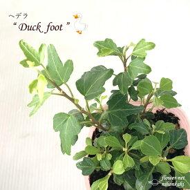 ヘデラ ヘリックス ダックフット 観葉植物 7.5cmポット インテリア おしゃれ