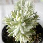 seセダムカメレオン錦多肉植物セダム7.5cmポット