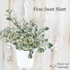 フィカストライアンギュラリススウィートハート観葉植物5号釣り鉢インテリア鉢植え