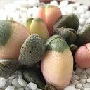 caプレイオスピロス 帝玉 令和の桃子 多肉植物 メセン リトープス 7.5cmポット