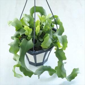 多肉植物 クジャクサボテン グアテマレンス(ミニドラゴンフルーツ) 多肉植物 5号鉢 釣り鉢
