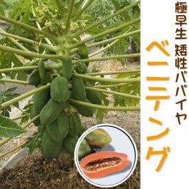 予約販売 極早生 矮性パパイヤ ベニテング 苗 メス木 10.5cmポット パパイヤ 健康野菜 4月下旬以降発送