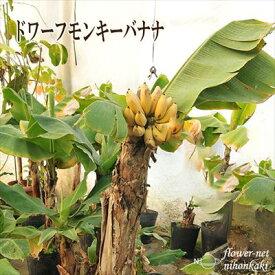 バナナ苗 ドワーフ モンキーバナナ トロピカルフルーツ 観葉植物 果樹苗 10.5cmポット