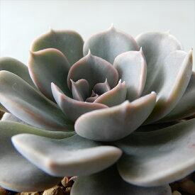 swkエケベリア テキサスローズ(ルンヨニー×ピンウィール)多肉植物 エアーマジック 韓国苗 エケベリア 7.5cmポット