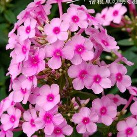 予約販売11月上旬以降発送 宿根草の咲く庭 フロックス ミスペッパー 大苗12cmポット オイランソウ