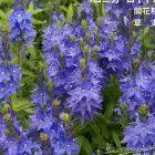 予約販売3月以降発送宿根草の咲く庭ベロニカロイヤルブルー大苗12cmポット