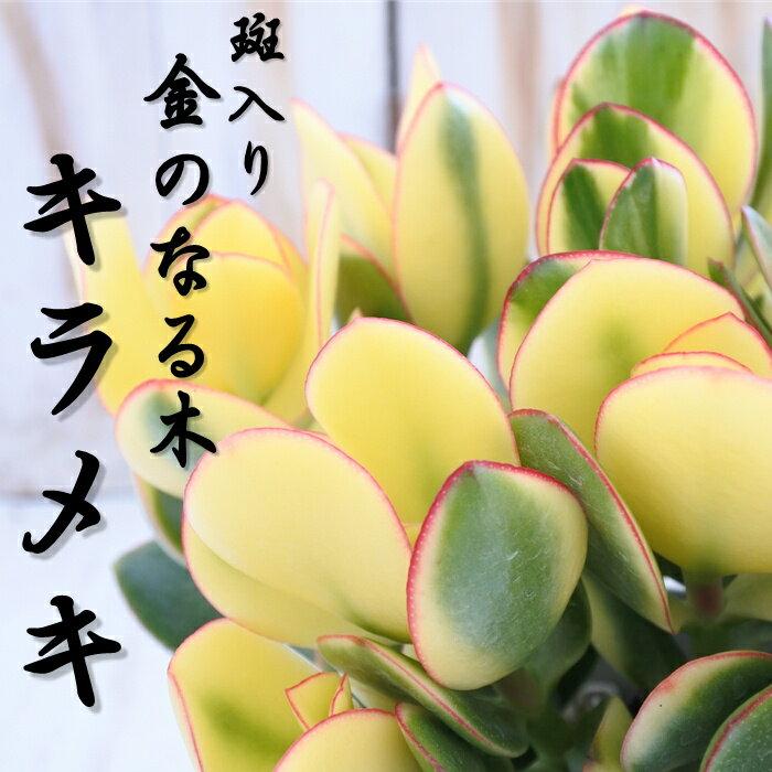 斑入り 金のなる木 キラメキ 花月 カゲツ 5号鉢
