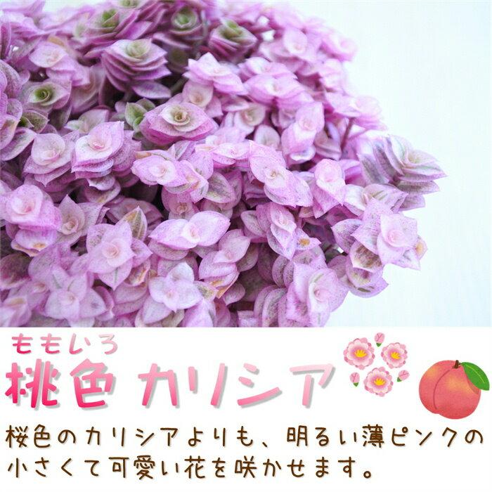 お部屋でかんたんeco 桃色ももいろカリシア 3.5号 (カリッシア)