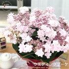 母の日ギフトアジサイウェディングブーケ5号鉢送料無料ギフト贈り物プレゼントあじさい紫陽花
