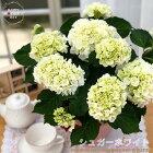 母の日ギフトアジサイシュガーホワイト5号鉢送料無料ギフト贈り物プレゼントあじさい紫陽花