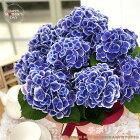 母の日ギフトアジサイチボリブルー5号鉢送料無料ギフト贈り物プレゼントあじさい紫陽花