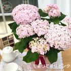 母の日ギフトアジサイテマリピンク5号鉢送料無料ギフト贈り物プレゼントあじさい紫陽花