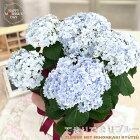 母の日ギフトアジサイテマリブルー5号鉢送料無料ギフト贈り物プレゼントあじさい紫陽花