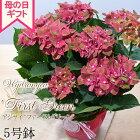 母の日ギフトアジサイファーストグリーン5号鉢送料無料ギフト贈り物プレゼントあじさい紫陽花