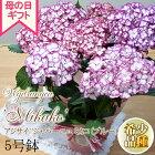 母の日ギフトアジサイミカコブルー5号鉢送料無料ギフト贈り物プレゼントあじさい紫陽花