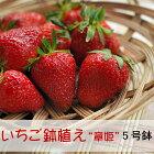 いちご章姫鉢植え5号苗ガーデニングイチゴあきひめ