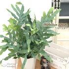 フレボディウムブルースター6号鉢送料無料観葉植物苗インテリアシダポリポディウム