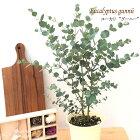 ユーカリグーニー4号鉢グニー苗観葉植物ハーブ常緑高木インテリア