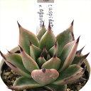 多肉植物 yukエケベリア cuspidata Menchaca×agavoides hyb 多肉植物 優木園さんの苗 エケベリア 6cmポット