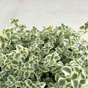 seクラッスラ リトルミッシー(多肉植物・9cmポット)