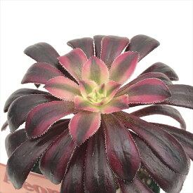 多肉植物 希少種 アエオニウム サンシモン バイオレット 多肉植物 7.5cmポット
