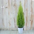 コニファーゴールドクレストウィルマ4号鉢観葉植物ガーデニング